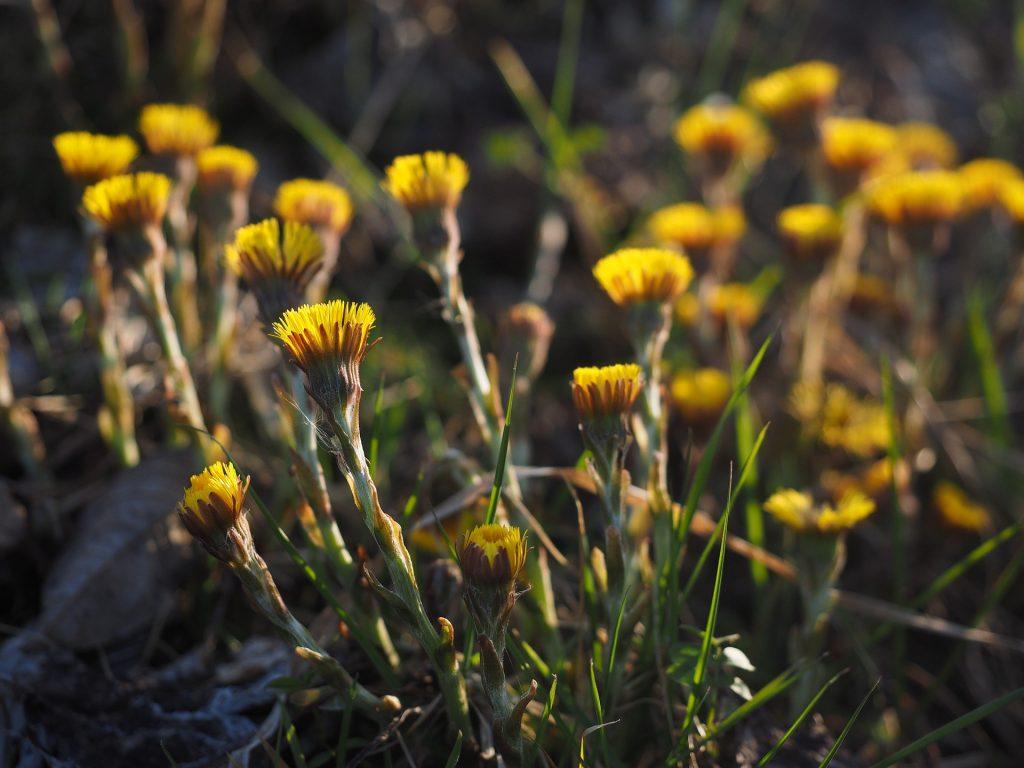 Huflattich Blüten